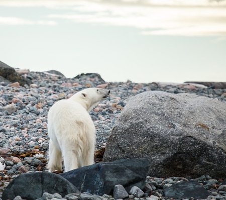 polar bear endangered species to protect