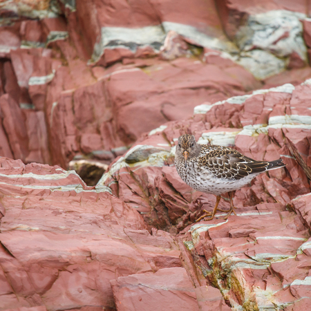 botas altas: bird forage on rocky coasts, picking up food by sight in the Arctic Foto de archivo