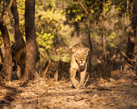 gujarat: asistic lion is a lion subspecies that exists as a single population in Indias Gujarat state