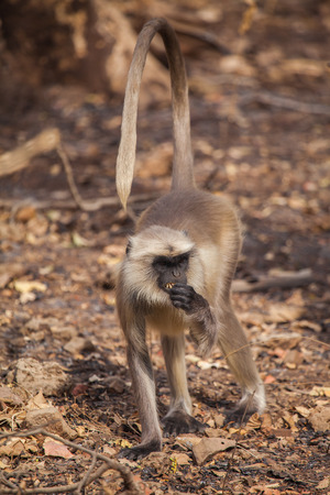 widespread: the most widespread langurs of South Asia, are a group of Old World monkeys constituting the entirety of the genus Semnopithecus