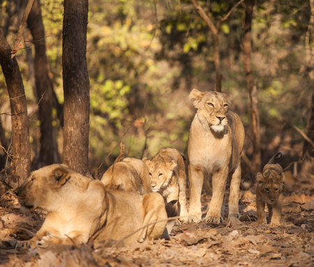 gir: asistic lion is a lion subspecies that exists as a single population in Indias Gujarat state