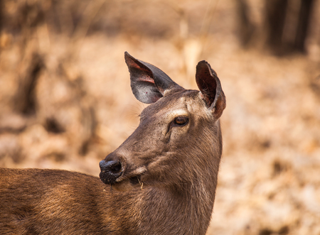 southern indian: Sambar Deer is a large deer native to the Indian subcontinent, southern China and Southeast Asia.
