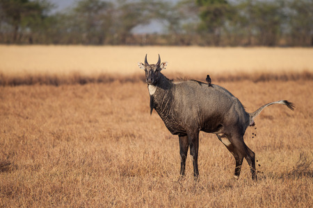 Nilgai sometimes called nilgau, is the largest Asian antelope. It is one of the most commonly seen wild mammals of central and northern India,