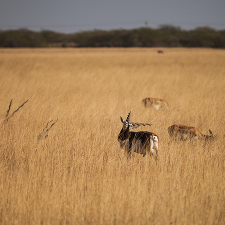 black buck: Black Buck is an ungulate species of antelope native to the Indian subcontinent that has been listed as Near Threatened on the IUCN Red List