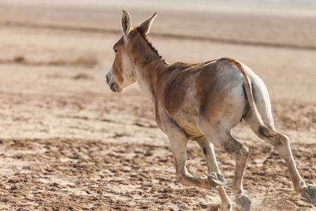 Indian wild or Baluchi wild (Equus hemionus khur) also called the ghudkhur in the local Gujarati language, is a subspecies of the onager native to Southern Asia.