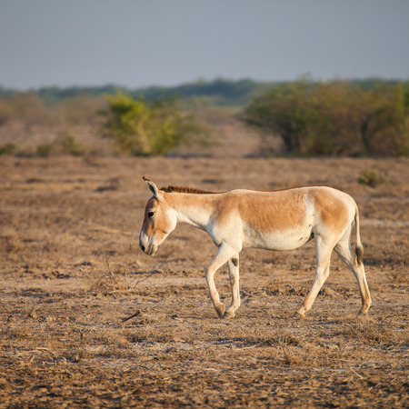 southern indian: Indian wild ass or Baluchi wild ass (Equus hemionus khur) also called the ghudkhur in the local Gujarati language, is a subspecies of the onager native to Southern Asia.