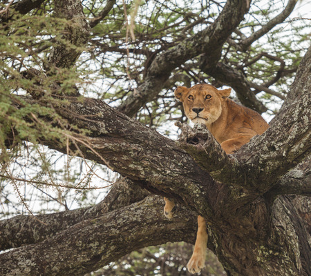resting: lion resting in nature