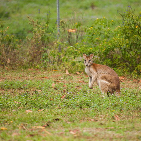 taxonomic: wallaby is a small- or mid-sized macropod found in Australia and New Guinea. They belong to the same taxonomic family as kangaroos and sometimes the same genus.
