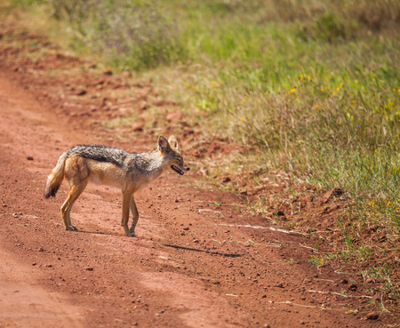 canid: black-backed jackal moving on wildlife. The black-backed jackal (Canis mesomelas) is a canid native to two areas of Africa. Stock Photo