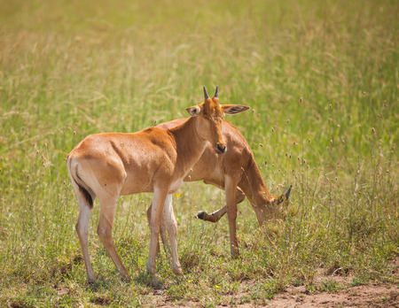 wild grass: young antelope on wild grass in africa.