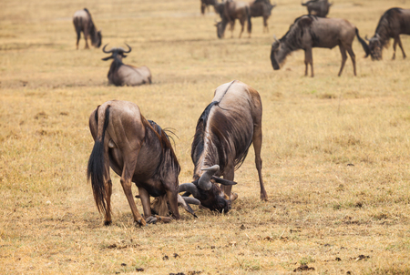 fiercely: wildebeest fight among themselves. Image blur because fought fiercely. nature wildlife. Stock Photo