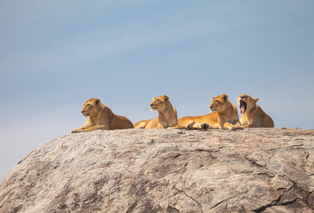 slumberous: Lion family on the rock. Relax and looked sleepy in wildlife. Stock Photo