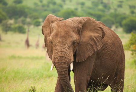 head to head: One species of African elephant, the bush elephant, is the largest living terrestrial animal, while the forest elephant is the third largest.