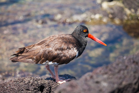 sufficiently: Galapagos Shore Birds. Many resident shore birds of the Galapagos are now sufficiently different from mainland species to have been awarded and endemic subspecies status by taxonomists. Only one has been given a full species status: the endemic lava heron