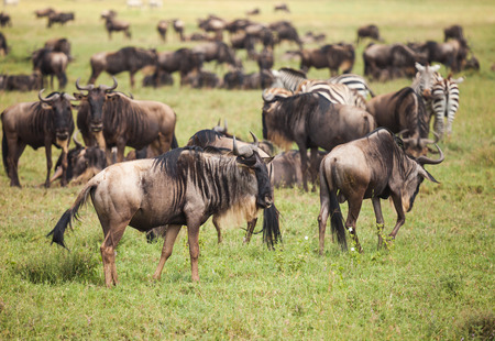 wildebeest: wildebeest on migration in wildlife.  nature in Tanzania. Stock Photo