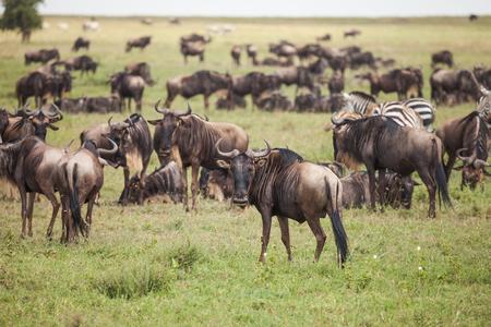 herbivore natural: wildebeest on migration in wildlife.  nature in Tanzania. Stock Photo