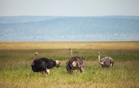 flightless: The ostrich or common ostrich (Struthio camelus) is either one or two species of large flightless birds native to Africa. ostrich family in wildlife. Stock Photo