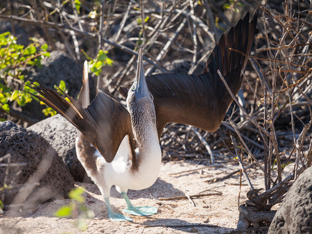 boobie: blue-footed booby (Sula nebouxii) is a marine bird in the family Sulidae. in Galapagos Islands