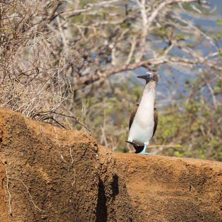 marine bird: blue-footed booby is a marine bird in the family Sulidae. Blue-footed boobies belong to the genus Sula. nature wildlife.