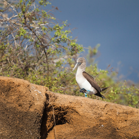 boobies: blue-footed booby is a marine bird in the family Sulidae. Blue-footed boobies belong to the genus Sula. nature wildlife.