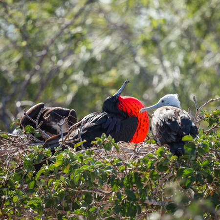 seabird: The magnificent frigatebird (Fregata magnificens) is a seabird of the frigatebird family Fregatidae. colorful of Galapagos Islands.