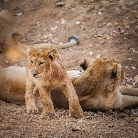 The Asiatic lion (Panthera leo persica) is a lion subspecies that exists as a single population in Indias Gujarat state.