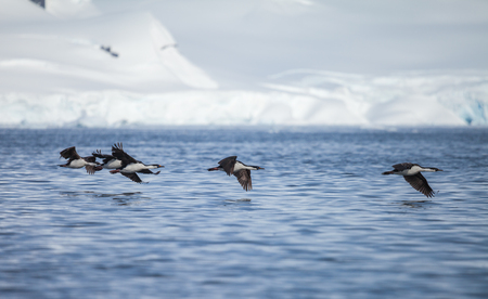 blue-eyed cormorant fly in antarctica. motion blurred.