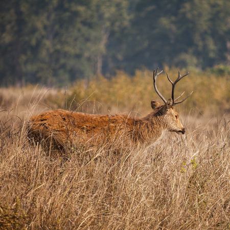 barasingha also called swamp deer, is a deer species distributed in the Indian subcontinent. nature in wildlife.