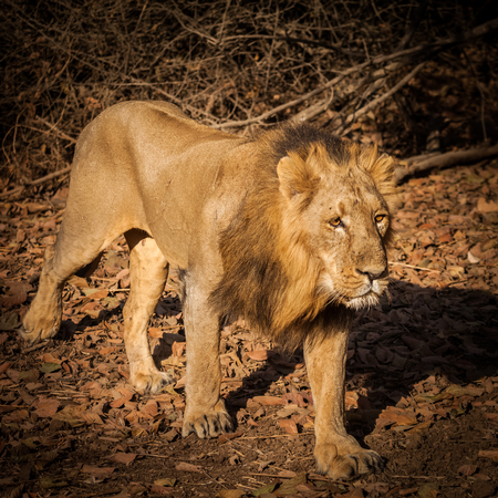 Asiatic Lion is a lion subspecies that exists as a single population in Indias Gujarat state. Endangered in wildlife