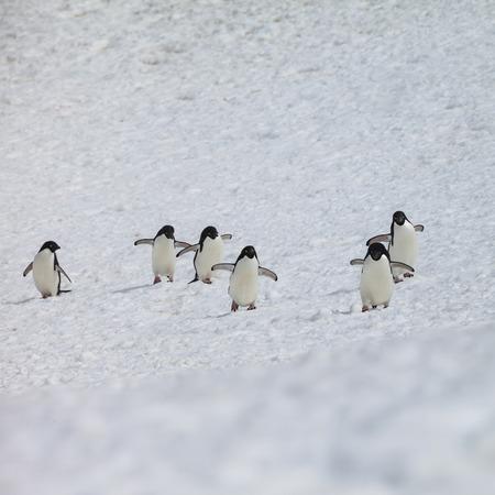penguin group walk snow in Antarctica.