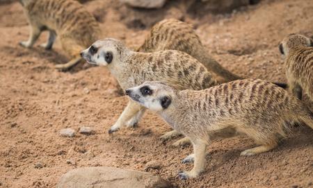 The meerkat or suricate (Suricata suricatta) is a small carnivoran belonging to the mongoose family (Herpestidae).