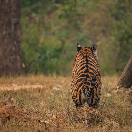 Bengal tiger (Panthera tigris tigris) is the most numerous tiger subspecies. 版權商用圖片