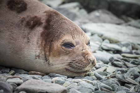 Fur seals are any of nine species of pinnipeds in the Otariidae family. marine life in nature.