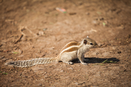 Indian palm squirrel or three-striped palm squirrel (Funambulus palmarum) is a species of rodent in the family Sciuridae found naturally in India Banco de Imagens