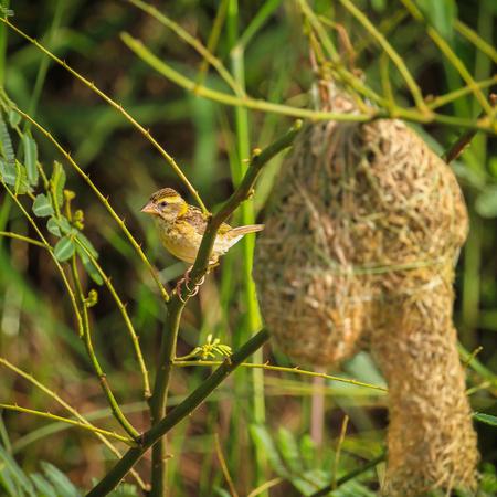 Asian golden weaver is found in Cambodia, Indonesia, Laos, Myanmar, Thailand, and Vietnam.