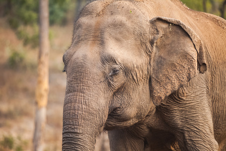 Asian or Asiatic elephant (Elephas maximus) is the only living species of the genus Elephas and is distributed in Southeast Asia from India in the west to Borneo in the east. 版權商用圖片