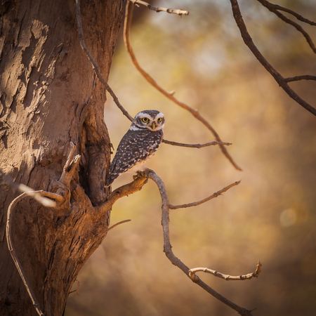 The jungle owlet, or barred jungle owlet, (Glaucidium radiatum) is found in the Indian Subcontinent.