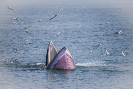 Brydes whale or the Brydes whale complex  putatively comprises two species of rorqual and maybe three.