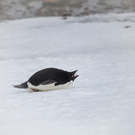 penguin keep the ice on the snow while snow falls.