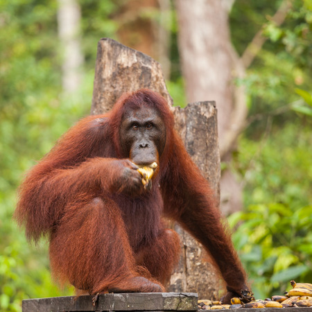 orangutans are the two exclusively Asian species of extant great apes. Native to Indonesia and Malaysia, orangutans are currently found in only the rainforests of Borneo and Sumatra.