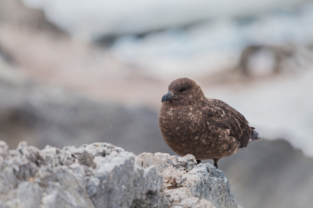 skua bird on the iceland in antarctic