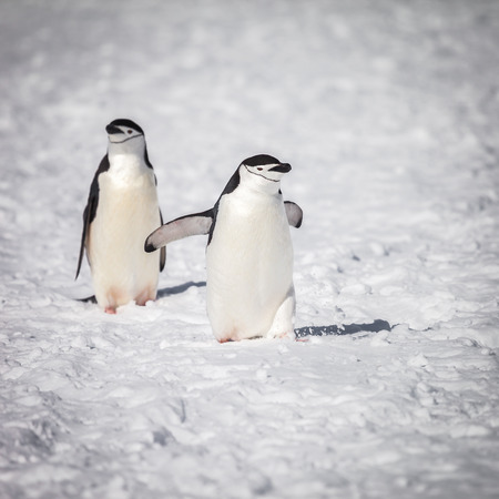 penguin happy with walking on  snow.