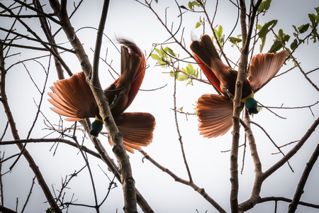 red bird of paradise dancing on tree in Papua Indonesia. motion. 版權商用圖片