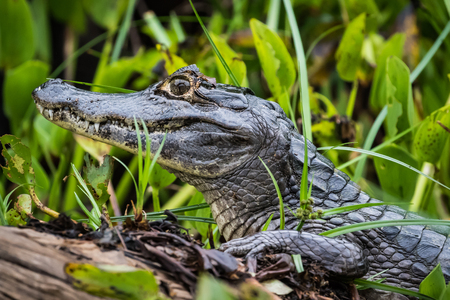 The caiman is on a log. wildlife. crocodile life in nature. pantanal.