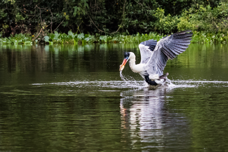 Cocoi Heron catches fish in the water. wildlife in Pantanal. motion