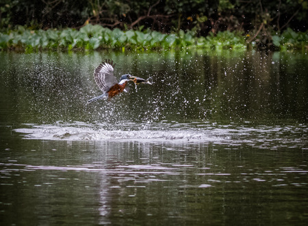 Kingfisher catches fish in the water. wildlife in Pantanal. motion