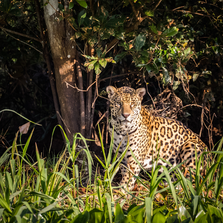 Jaguar sitting in the wild. wildlife in pantanal.