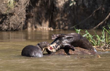 giant otter in nature. wildlife endangered in Pantanal. 版權商用圖片