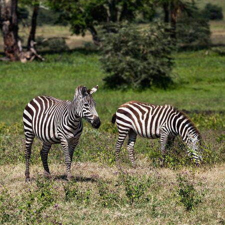 zebra in wild, nature and wildlife