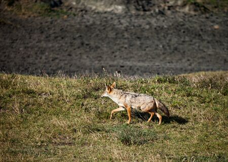 black jakal run in wild, wildlife motion